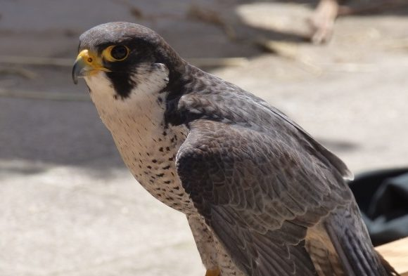 Milwaukee's Falcons Find a Lasting Home at a Wastewater Plant
