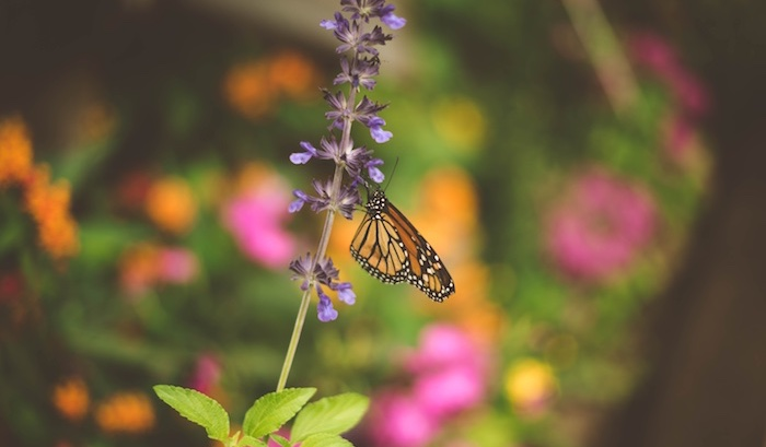 Monarch butterfly perched on a purple flower.